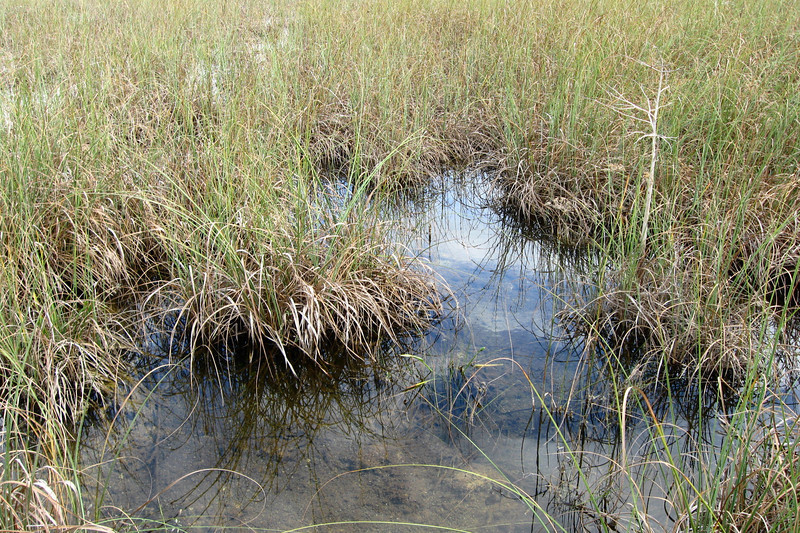 Nevermind the water and ever present gator threat, the <i>grass</i> is what you should be most worried about.  This is Sawgrass which, if you look closely or rub against it, shows you that its edges are covered in thousands of tiny teeth!