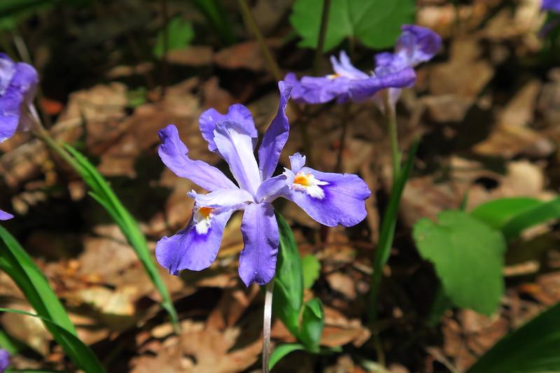 Dwarf Crested-iris