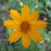 Another common summer wildflower...Lance-leaved Coreopsis...