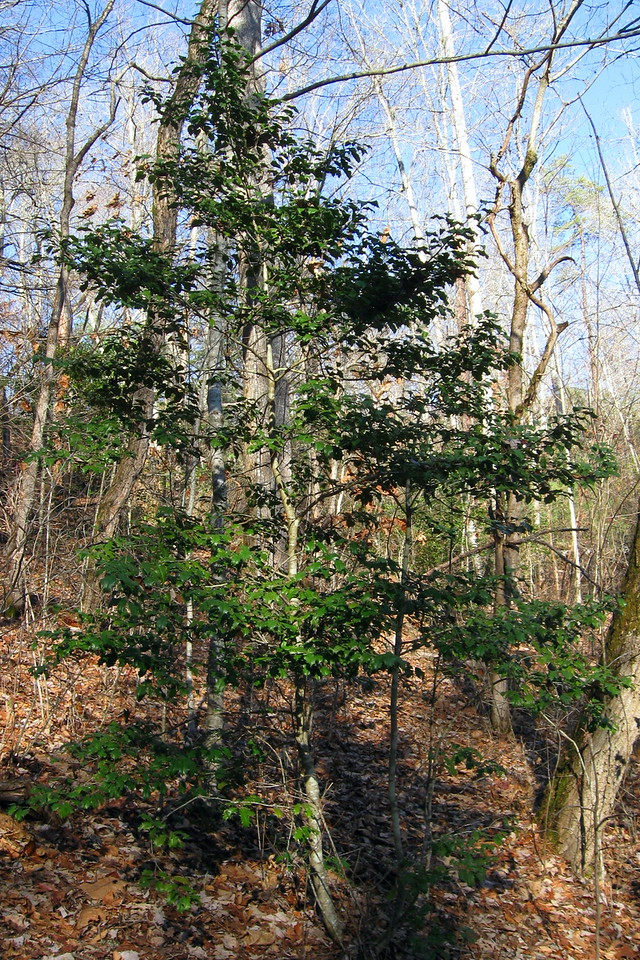 There was even a bit of Holly along the trail, which was seasonally appropriate, I thought...