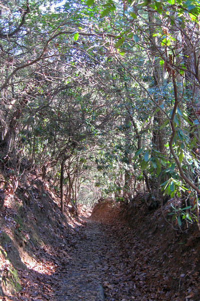The effects of years of heavy use coupled with the powers of erosion have dug a deep channel through the rhododendron along this section of trail...