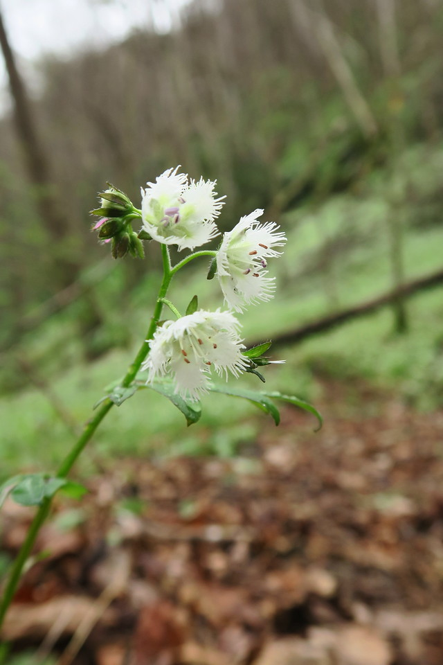 White-fringed Phacelia