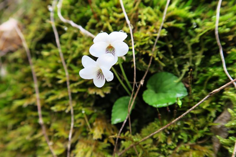 Sweet White Violet
