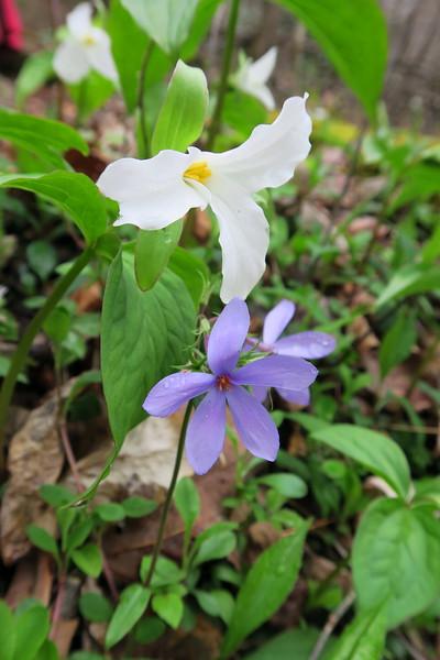 Large-flowered Trillium &
