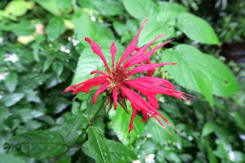 Crimson Bee Balm - 3,660'