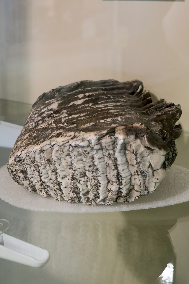 Visitor Center - Mastodon Tooth