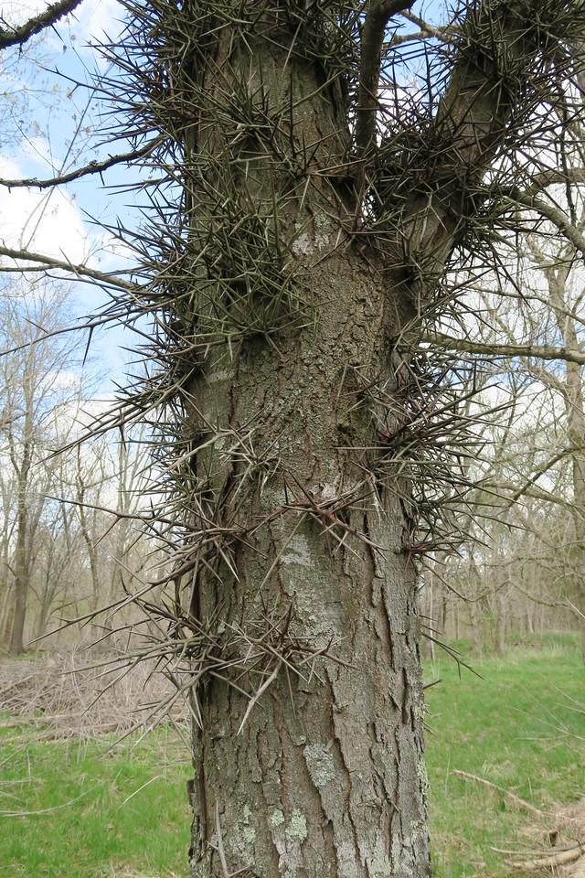 Honey-locust Tree