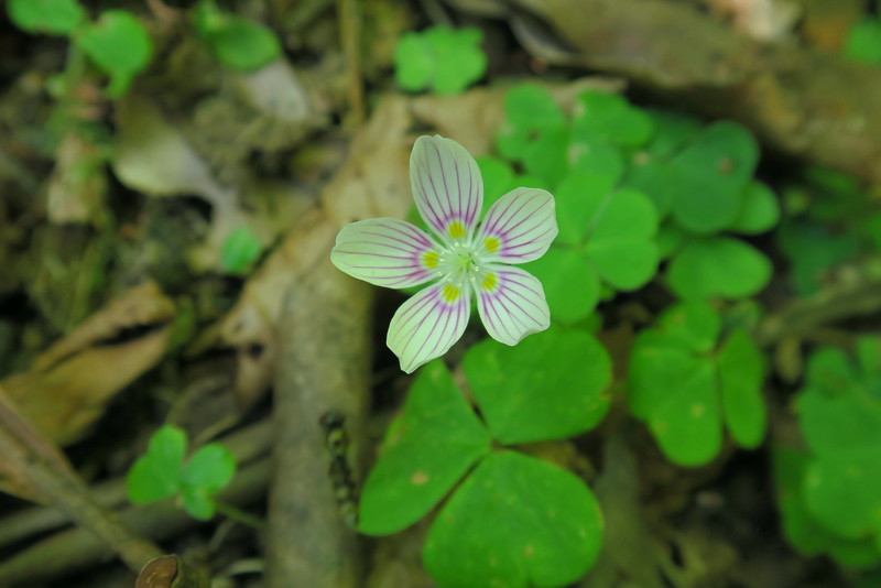 Northern Wood-sorrel