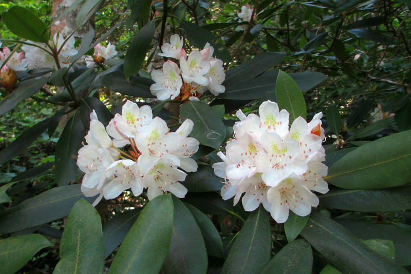 A generous display of <i>Rhododendron maximum</i>, or Rosebay Rhododendron, greeted us as we set out on our hike...
