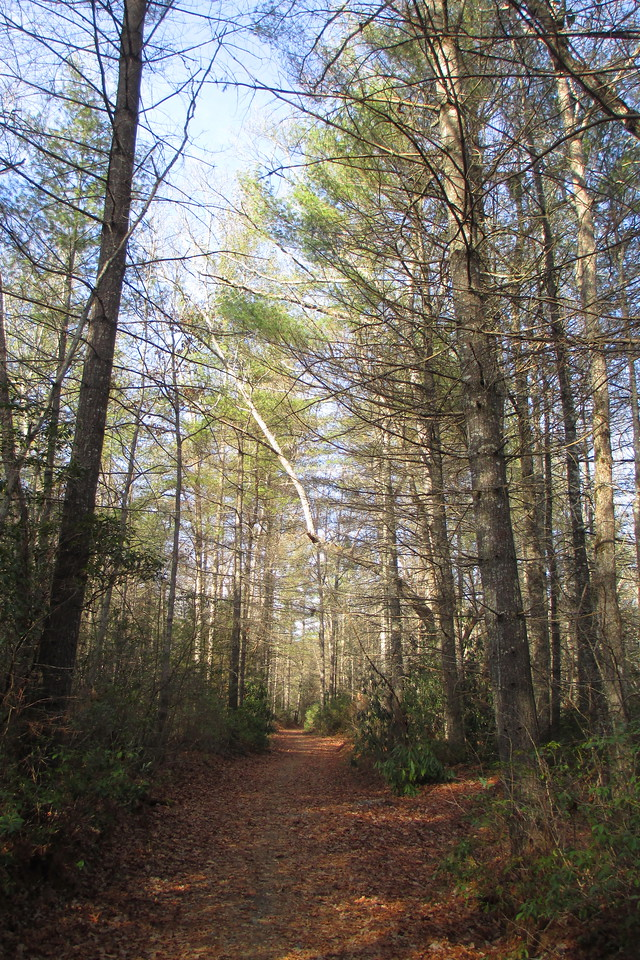 Turning away from the river, the trail enters a forest of tall, stately pines...