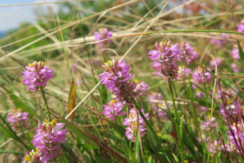Purple Milkwort - 4,750'