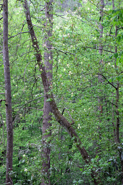 Tulip poplars grow huge, beautiful blossoms in the spring but they're mostly hidden high in the canopy...