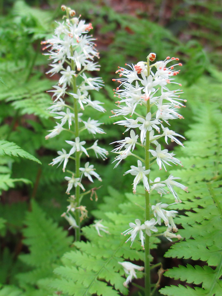 <I>Foamflower</I>...