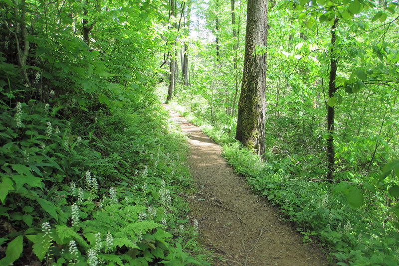 Foamflower lines the trail...