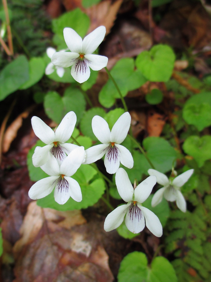 <I>Sweet White Violets</I>...