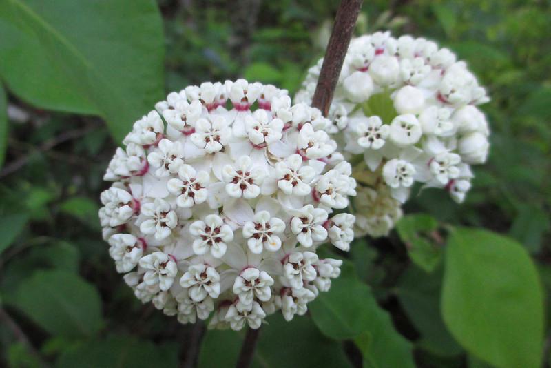 White Milkweed (<i>Asclepias variegata</i>)