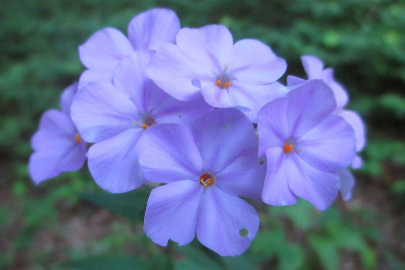 Wild Blue Phlox (<i>Phlox divaricata</i>)
