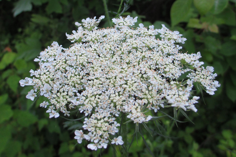 Queen-anne's-lace (<i>Daucus carota</i>)