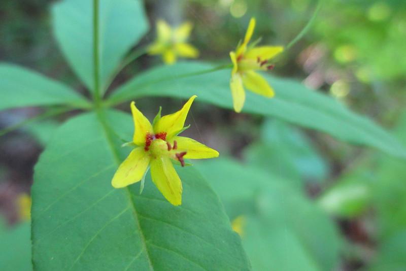 Whorled Loosestrife (<i>Lysimachia quadrifolia</i>)