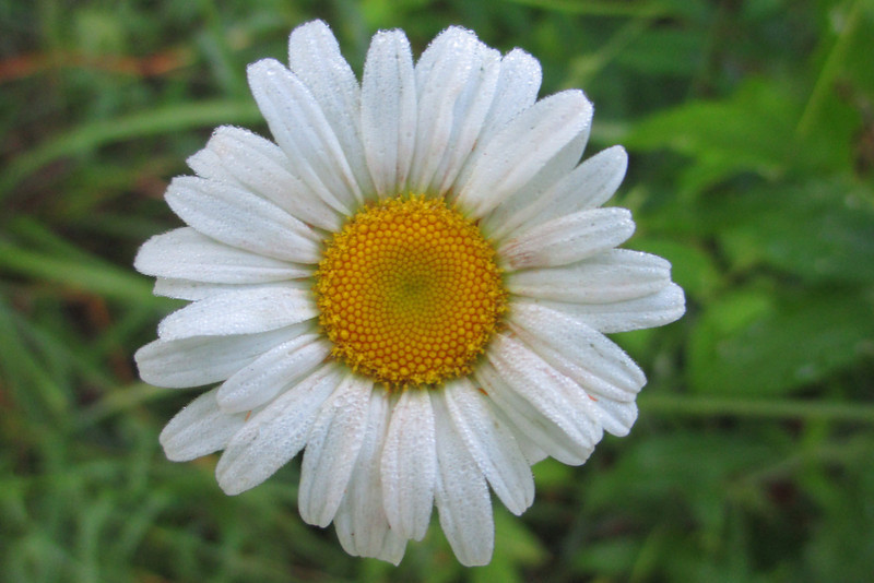 Ox-eye Daisy (<i>Leucanthemum vulgare</i>)