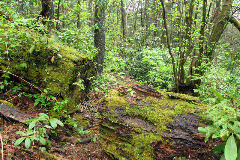 A handy cross-cut allows passage through a huge moss-draped log...