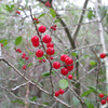 The red berries of the yaupon shrub bring a dash of color to the forest.  On the beach the yaupon only grows knee high but here in the sheltered confines of Buxton Woods it can grow to heights of 15-20 feet...