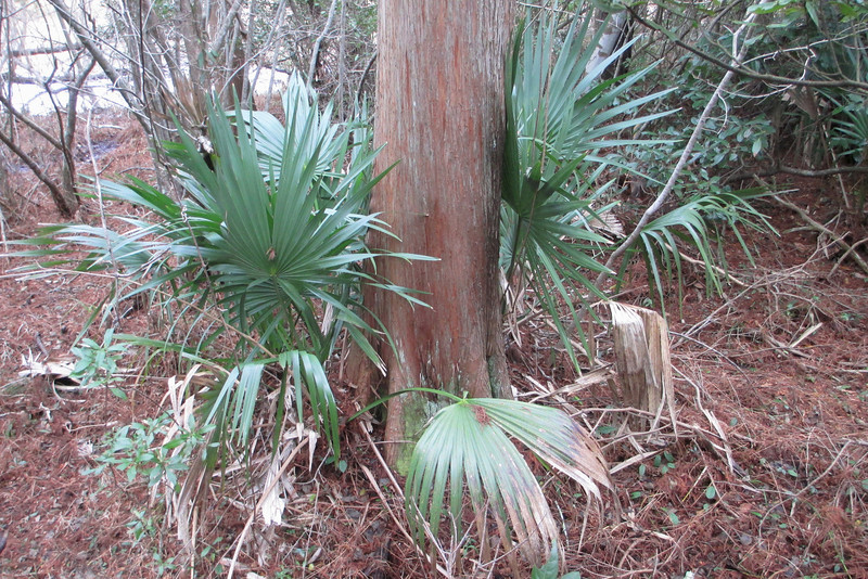 A cluster of dwarf palmettos keeping close company with a large cedar...
