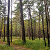 The back half of the Cypress Point Loop turns back into the heart of the longleaf pine forest...