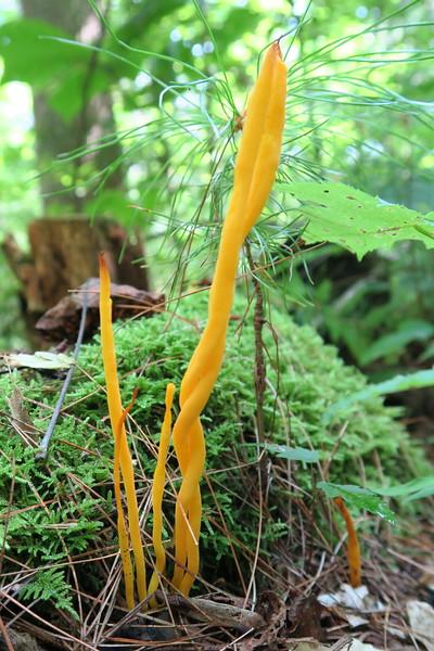 Orange Coral Mushroom
