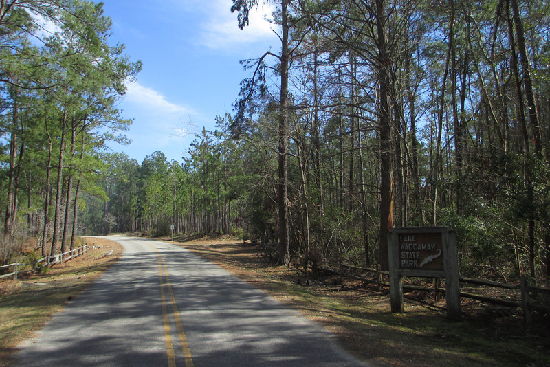 Tall stands of pine and a carved, wooden alligator welcome us to Lake Waccamaw State Park...