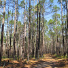The pines almost seemed like mirror images of each other along certain stretches of trail...