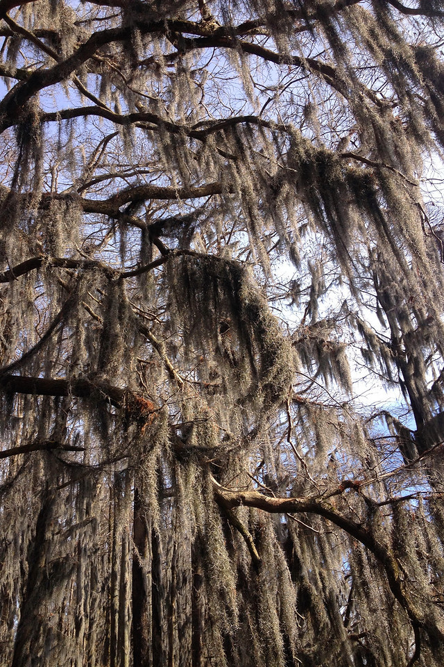 The spanish moss in places was so thick it almost seemed to be dripping from the trees...