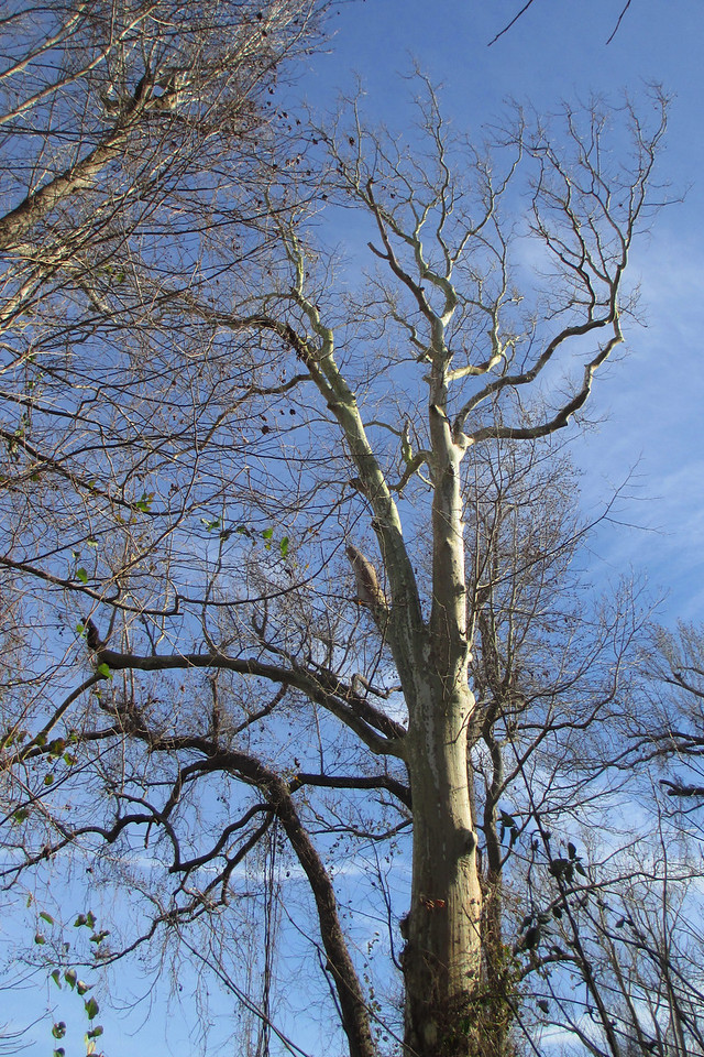 A bright white sycamore glows in the morning sun...