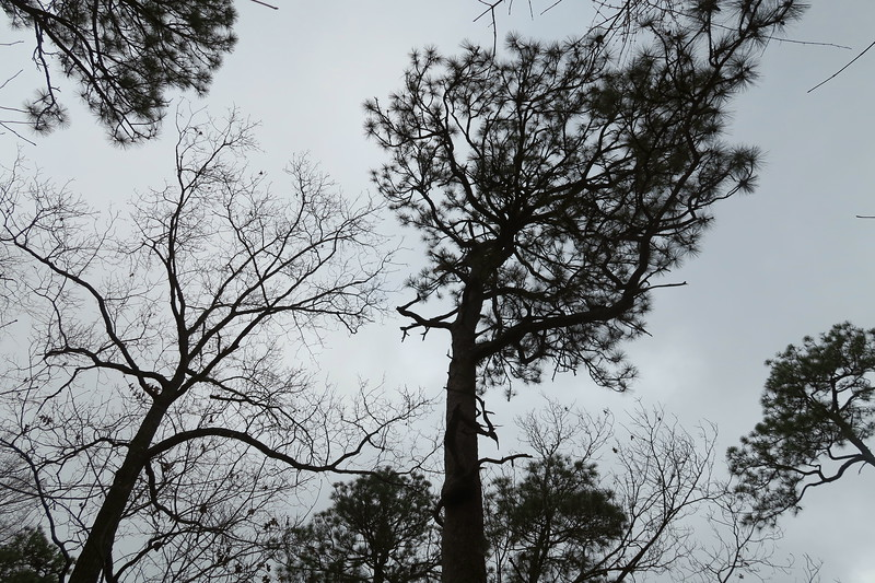 Oldest Longleaf Pine