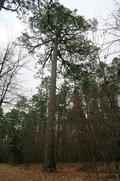Second Largest North Carolina Longleaf Pine