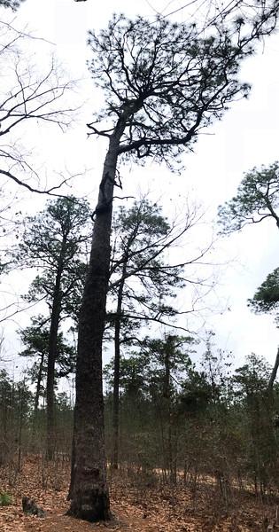Oldest Longleaf Pine