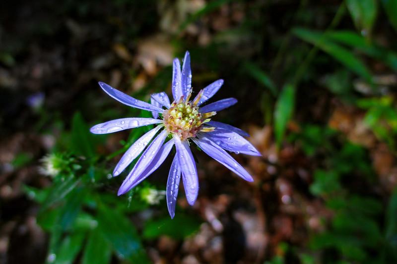 Late Purple Aster