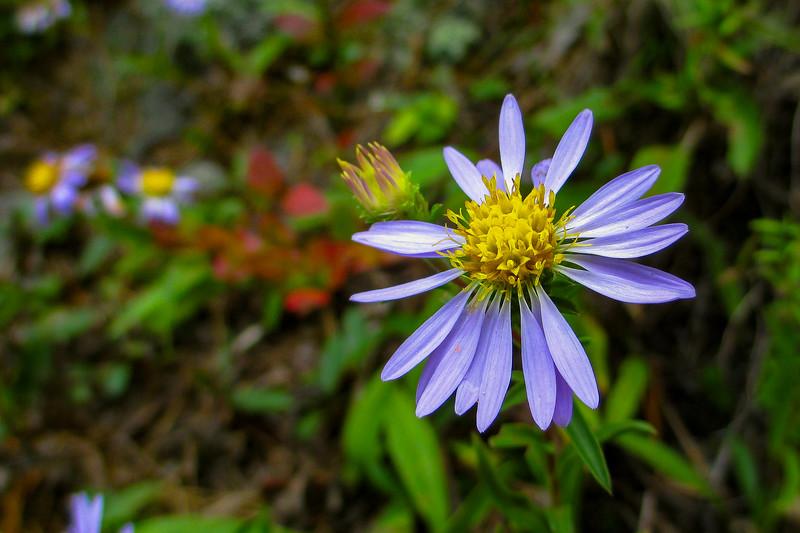 Purplestem Aster