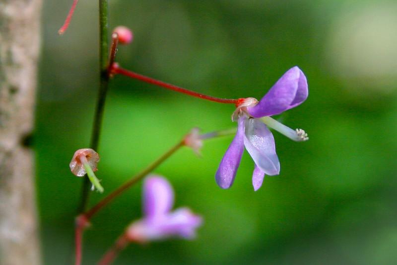 Nakedflower Ticktrefoil