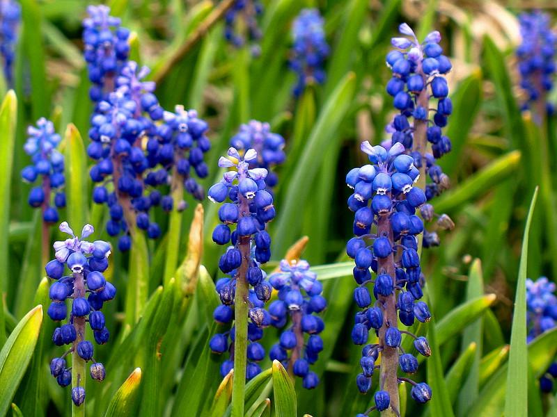 Common Grape Hyacinth