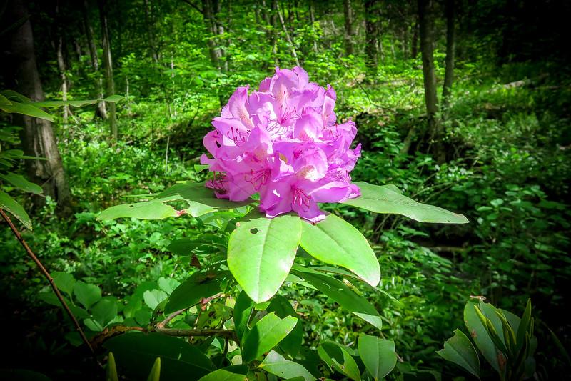 Catawba Rhododendron