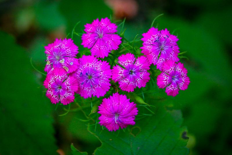 Maiden Pink
