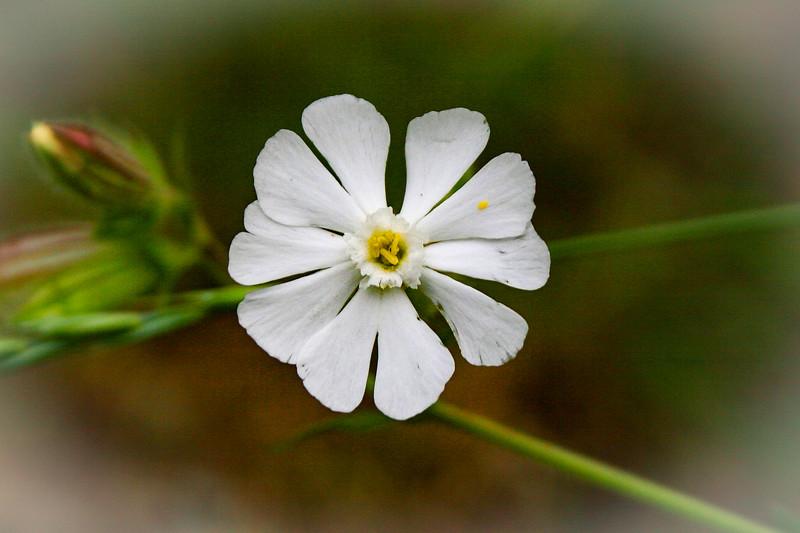 Night-flowering Catchfly