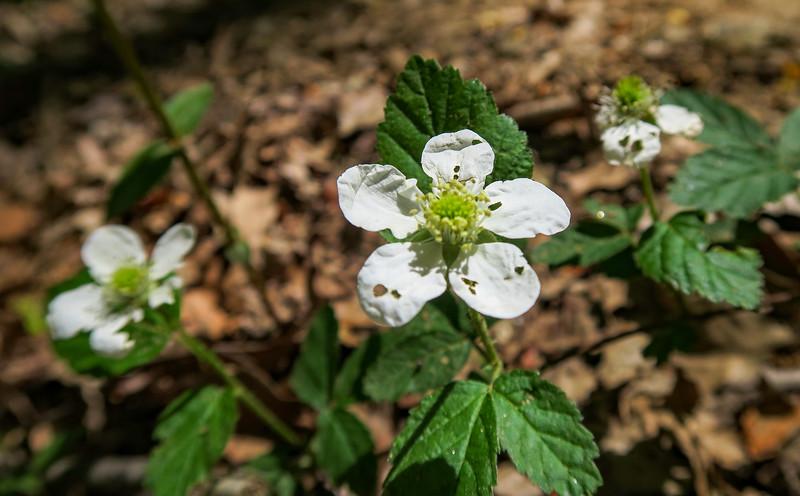 Northern Dewberry