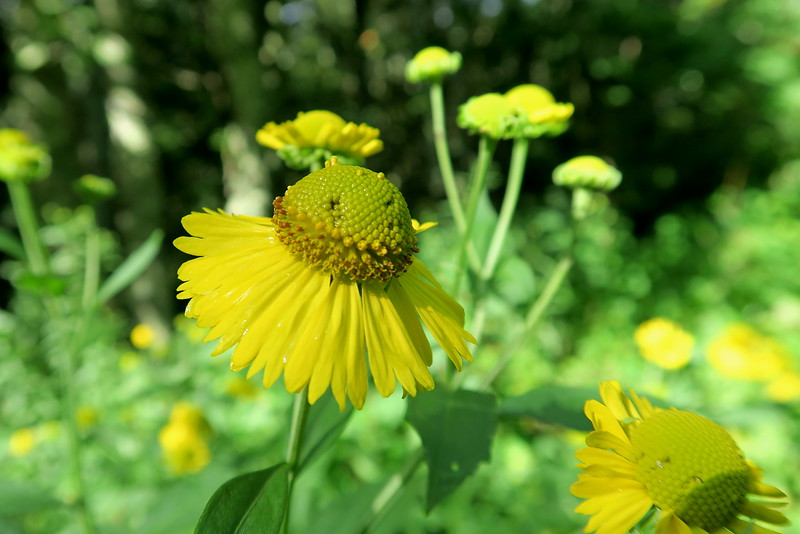 Common Sneezeweed - 4,500'