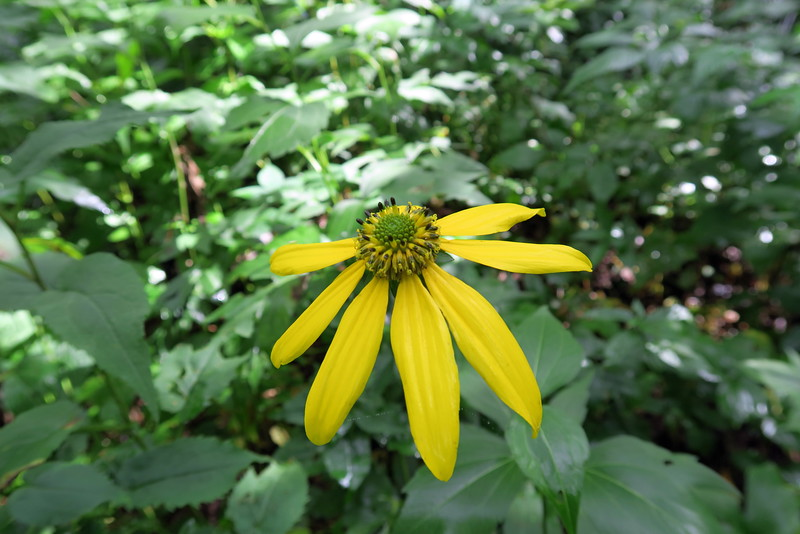 Cut-leaved Coneflower - 4,950'
