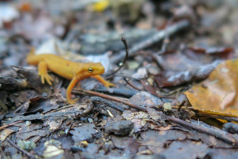 Salamander Buddy