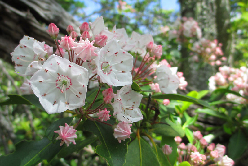 Unquestionably my favorite Appalachian wildflower...the Mountain Laurel...