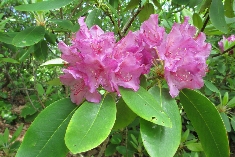 The magnificent blossoms of the Catawba Rhododendron are always worth a photo...