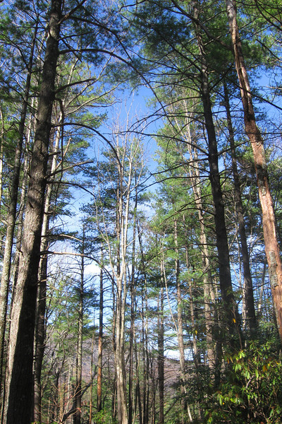 Much of the gorge interior is covered by a mixed pine-hardwood forest.  Here, a nice grove of mixed White Pines gives a very northern feel...